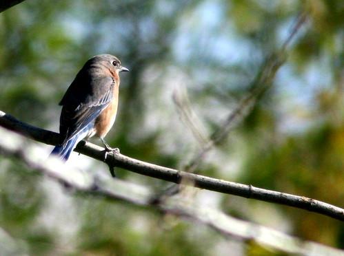 Eastern Bluebird 20101017