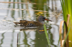 Water Rail (Rallus aquaticus) Swimming at Potteric Carr (Steve Greaves) Tags: winter reflection bird nature water swimming swim reeds bill ripple wildlife feathers rail shy aves naturalhistory redeye elusive rare avian pottericcarr doncaster plumage reedbed greyhead secretive waterrail redbeak yorkshirewildlifetrust ywt rallusaquaticus littlebrownbird nikond300 europeanwaterrail nikonafsii400mmf28ifedlens greyunderparts naturereserveeuropean