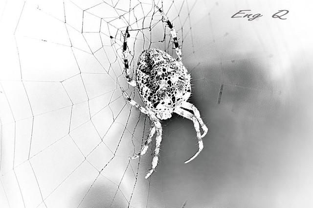 spider invert