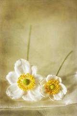 Esprit d'Anemones (Helaine37) Tags: flower texture canon book memories anemone birtday bloemen anemoon bloemetjes textuur doek losse 450d
