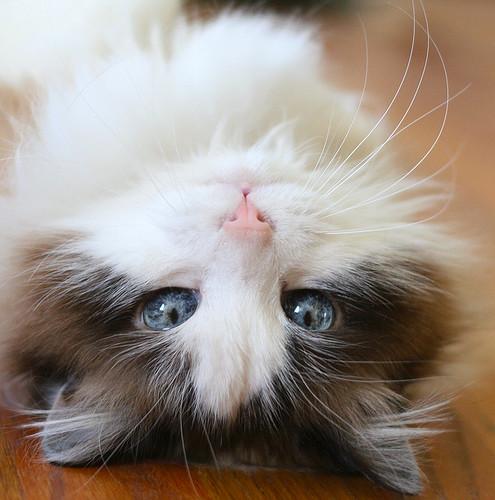 cute fluffy rescued cat