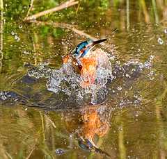 Explosion (Andrew Haynes Wildlife Images) Tags: bird nature wildlife dive kingfisher coventry warwickshire brandonmarsh ajh2008 carltonhide