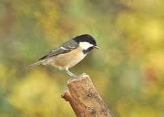 Coal Tit 1 (bridgey74) Tags: bird britishwildlife coaltit britishbird