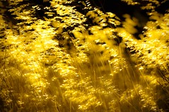 Weeds shaking under a strong wind. Backlit image shot with Nikkor 70-200 VR I