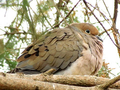 All Ruffled Up ~ Mourning Dove IMG_1241 SX30 IS crop lvl (Jennz World) Tags: mourningdove superzoom pse7 sx30is canonpowershotsx30is