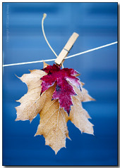 Hung to Dry (Lisa-S) Tags: blue autumn red ontario canada fall home leaves yellow leaf frost bokeh lisas foliage string hanging maples brampton clothespin garagedoor blueribbonwinner coth 3901 50d theunforgettablepictures vanagram copyright2010lisastokes gappool