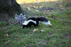 2010 November 12,Skunk.