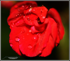 Dew Drop on Flower (Juno जूनो) Tags: juns
