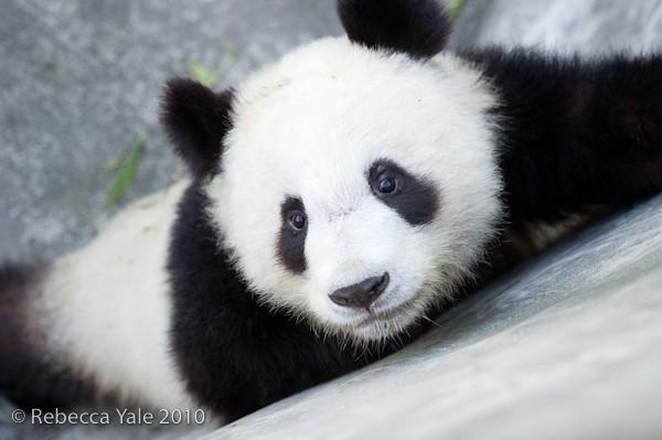 RYALE_Panda_Bears_31