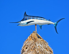 Marlin (photographyguy) Tags: marlin ajs destin florida gulfcoast palapa gulfofmexico bluesky fish