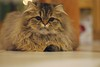 filou2 (Lefort Johan) Tags: portrait cats baby cute cat kitten chat pentax johan mignon chaton persan lefort mywinners bestofcats k200d lefortjohan