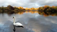 Silent Sunset (Mark BJ) Tags: uk sunset lake manchester swan looks oldham ashtonunderlyne mute greysky muteswan wow1 wow2 wow3 wow4 daisynook failsworth wow5 crimelake magicalskies