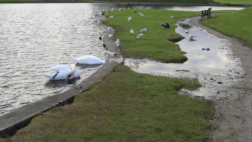 Swans In A Badly Maintained Public Park