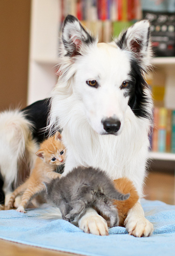 cute dog swarmed by kittens border collie