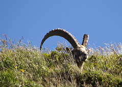 """bouquetin head above grasses • <a style=""""font-size:0.8em;"""" href=""""http://www.flickr.com/photos/30765416@N06/5184910623/"""" target=""""_blank"""">View on Flickr</a>"""