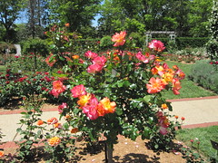 Roses - Old Parliament House Gardens - Canberra (Big Brisbane Boy) Tags: gardens garden capital australian canberra act territory
