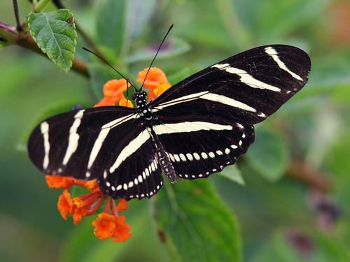 Zebra Heliconian 20101118