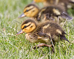 Norfolk Duckling (Andrew H Wildlife Images) Tags: bird nature duck norfolk duckling nwt cleymarsh canon7d ajh2008