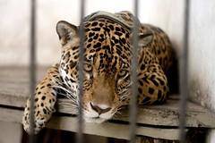Ona Pintada (Iuri Fernandes) Tags: nature selva cage felino jaguar ona amazonia