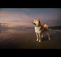End of Day - 46/52 (kaoni701) Tags: sanfrancisco autumn sunset portrait dog pet cute fall animal japan puppy japanese oceanbeach shibainu vr 1635 shibaken   strobist d700 sb900 52weeksfordogs
