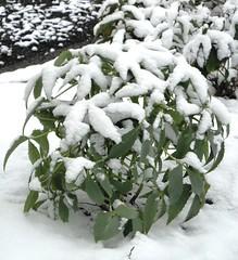 Helleborus Silver Lave in snow