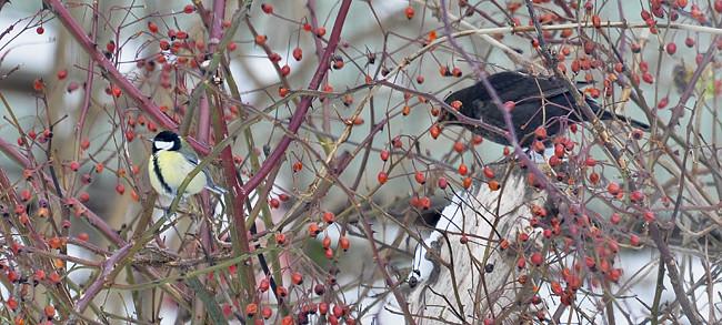 fåglar i äppel-nypon-trädet