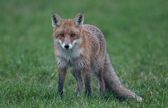 Red Fox (mowitsch) Tags: fox redfox