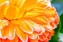 Ptalos escarchados. (A..L..H) Tags: flor invierno fro helada escarcha fzfave lambn retofez101130