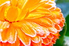 Pétalos escarchados. (A..L..H) Tags: flor invierno frío helada escarcha fzfave lambán retofez101130