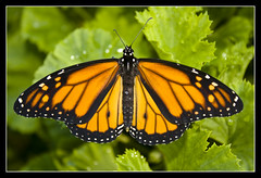"MONARCH BUTTERFLY ""ITS A COLOURFUL LIFE"" (Gib Rock Photography) Tags: orange leaves gardens canon butterfly insect geotagged botanical eos born fly leaf wings legs body butterflies butter monarch flies 1855mm alameda efs positively canon botanical gardens david 1855mm eos eos reyes butterflies efs butterfly monarch 1000d gibraltar 1000d mygearandmepremium mygearandmebronze mygearandmesilver mygearandmegold mygearandmeplatinum mygearandmediamond exposed"