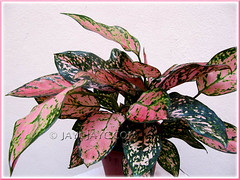 Our potted Aglaonema 'Valentine', a Thai hybrid with pink+green variegation. Shot March 6 2010