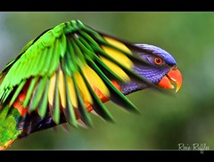 In the glimpse of an eye.... Rainbow Lorikeet inflight (Vanessa Mylett) Tags: life wild sky color colour macro bird nature beautiful birds animal closeup canon fly flying inflight amazing interesting wings movement eyes colorful bright action bokeh background wildlife flight wing australian beak feathers lorikeet parrot australia best sharp landing 7d queensland colourful rainbowlorikeet flapping parrots lorikeets plumage australiana australianwildlife 100mmf28 beaudesert trichoglossushaematodus psittacidae scenicrim psittaciformes colorphotoaward 100mmcanon borderfx canon7d slblanding 7dcanon earthnaturelife 100mm28l canon7deos stheast mygearandmepremium rainbowlorikeetflying beaudesertphotography beaudesertphotographer