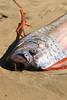 Oarfish (darrellrae) Tags: rare oarfish
