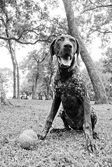 Park, Ball, Ball, Park, Ball (MattGerlachPhotography) Tags: park dog ball fun florida tennis panting fetch gsp panamacity throw repeat germanshorthairpointer retreive mattgerlachphotography parkermemorialpark