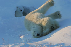 Polar bear with cubs  David Jenkins / WWF-Canada (wwfunitedkingdom) Tags: bear snow canada cold female mammal cub snowy manitoba polarbear ursusmaritimus