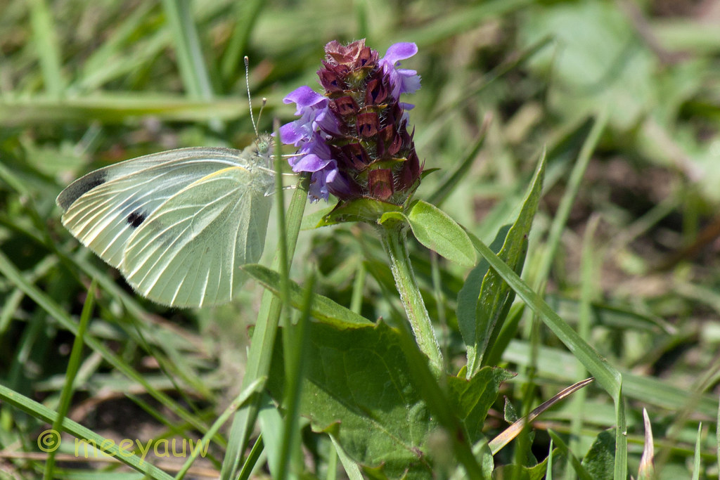 cabbage white butterfly on heal all 4