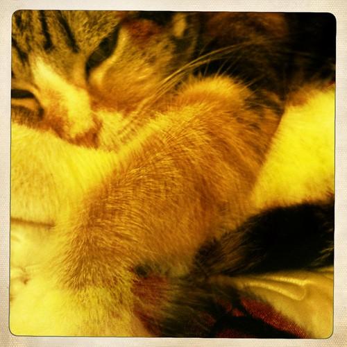 5608387918 155a125b3f Cat pregnancy signs   a