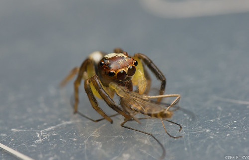 Jumping Spider with Prey V