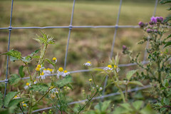 Life at the Foot of the Fence (Shastajak) Tags: hoverfly wire chamomile thistle bramble bokeh