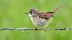 Whitethroat (Full Moon Images) Tags: wicken fen nt national trust wildlife nature reserve cambridgeshire bird barb wire whitethroat