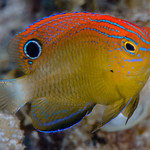 Speckled Damsel, juvenile - Pomacentrus bankanensis thumbnail