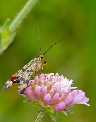 Scorpionfly (Panorpa vulgaris) male