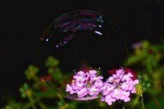 """Bubbleized""  Lantana (deanrr) Tags: napg summernights june2017 summer 2017 nighttime bubble lantana morgancountyalabama alabama nature outdoor humidity bokeh flower"