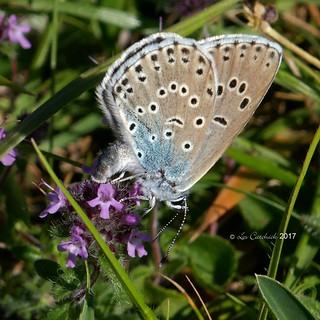 Large blue - female (laying eggs)