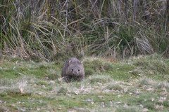 Now Looking My Way (zenseas) Tags: wild wombat commonwombat tasmania cradlemountain morning devilsatthecradle south southern australia watchingme cute cutie adorable vombatusursinus southernhemisphere holiday vacation workingvacation workingholiday eat eating chewing eatinggrass eyecontact
