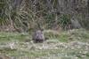 Now Looking My Way (zenseas behind but catching up) Tags: wild wombat commonwombat tasmania cradlemountain morning devilsatthecradle south southern australia watchingme cute cutie adorable vombatusursinus southernhemisphere holiday vacation workingvacation workingholiday eat eating chewing eatinggrass eyecontact