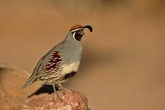Gambel's Quail (Andrej Chudy) Tags: bird birding birdwatching usa america trip canon wild wildlife animal nature outdoor arizona fullframe desert northamerica canon600mmf4isusm canon1dx 1dx