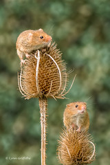 Is the view worth the climb? 500_0148.jpg (Mobile Lynn) Tags: nature rodents harvestmouse captive fauna mammal mammals rodent rodentia wildlife greensnorton england unitedkingdom gb coth specanimal coth5 ngc sunrays5 npc