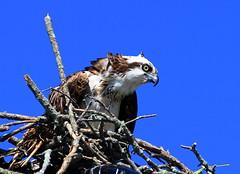 Osprey (jonathanzhong1) Tags: