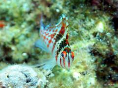 Dwarf hawkfish - Okinawa, Japan